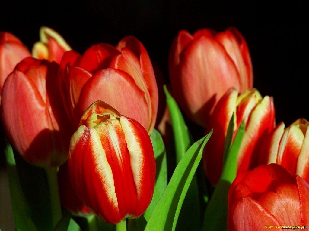 Картинки цветы тюльпаны скачать 1